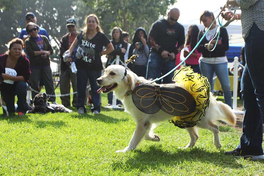 On Saturday, Oct. 26, Jewels, a Golden Retriever, wins the Most Creative Costume award dress as a bumblebee. The annual dog celebration event offered a dog costume contest to celebrate Halloween with the pets of the Downey community.