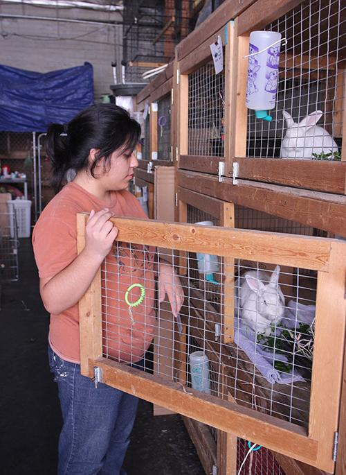 "On Nov. 9, H.O.P.E Club member, Diane Delgado, 12, emphasizes the need to serve other cities by attending Furry Fun in Hawthorne City to serve rescued rabbits. ""It was fun to be surrounded by people that care about animals and know I make a small difference by caring as well,"" Diane Delgado said."