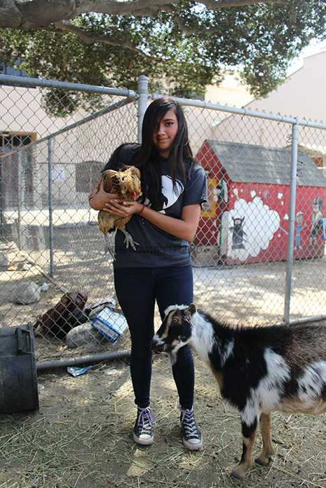 """On June 1 at the Downey High School farm, Briana Medina, 11, helps move the older chickens to the back of the farm so they can make room for the new baby chicks. """"It feels freaking awesome!"""" Medina stated. """"Having a class just to hang out with the animals is a dream."""""""